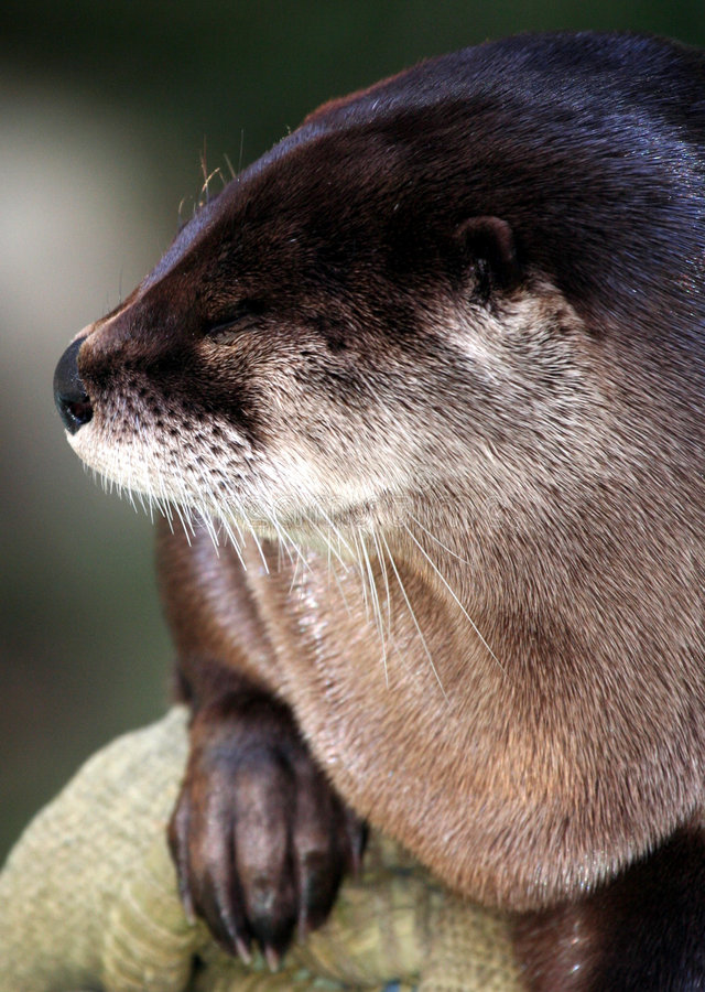 Download Otter stock photo. Image of otter, napping, ocean, details - 8583640