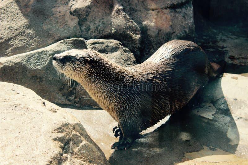 Otter bij Spel royalty-vrije stock afbeeldingen