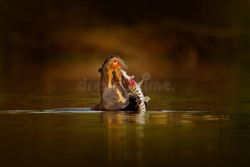 Otter with catch fish. Giant Otter, Pteronura brasiliensis, portrait in the river water level, Rio Negro, Pantanal, Brazil. Wildli. Fe scene from nature. Animal royalty free stock photo