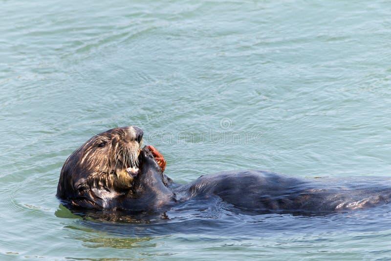 Otter, der eine Krabbe beim Schwimmen auf seiner Rückseite isst stockfotos