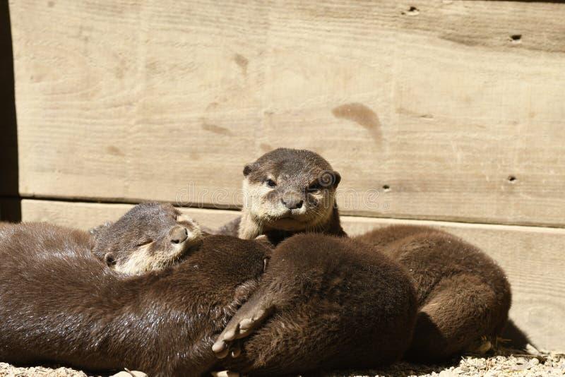 Otter, die in einem Zoo schlafen stockfoto