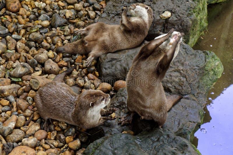 Otter, die Kiesel jonglieren stockfoto