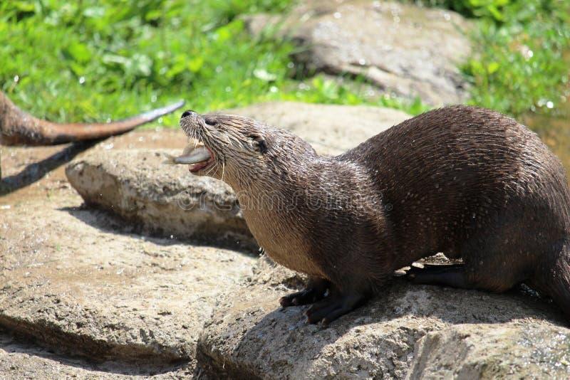 Otter die vissen eet stock afbeeldingen