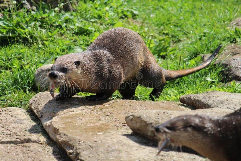 Otter die vissen eet stock fotografie