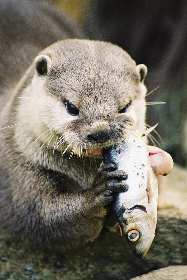 Otter eating a fish. Close up of an otter eating a fish. Film scan stock photos