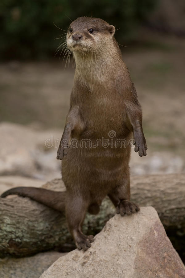 Download Otter Erect stock image. Image of image, nature, clawed - 19246817
