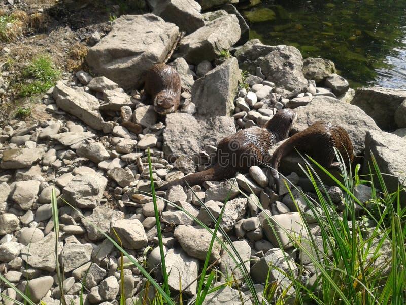 Otter family 2. Otter family near waterside version 2 royalty free stock image