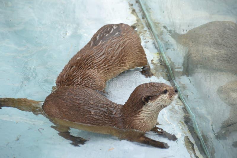 Otter, Fauna, Mammal, Mustelidae Free Public Domain Cc0 Image