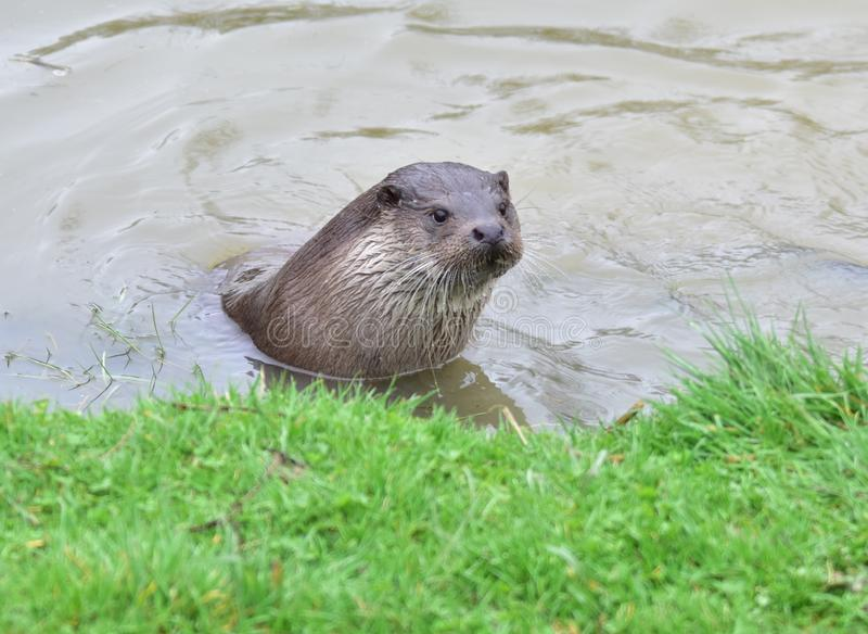 Otter. Feeding on River Bank Surrey UK England royalty free stock photos