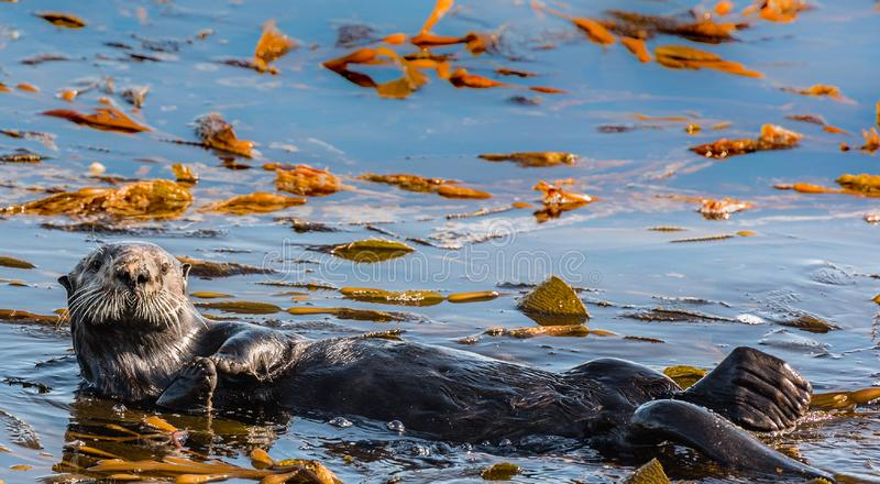 Otter Floating in its Back in the Monterey Bay royalty free stock images