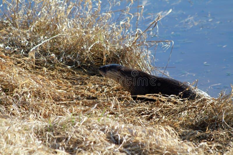 An otter harvesting grass stock image