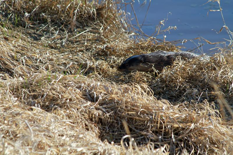 An otter harvesting grass royalty free stock images