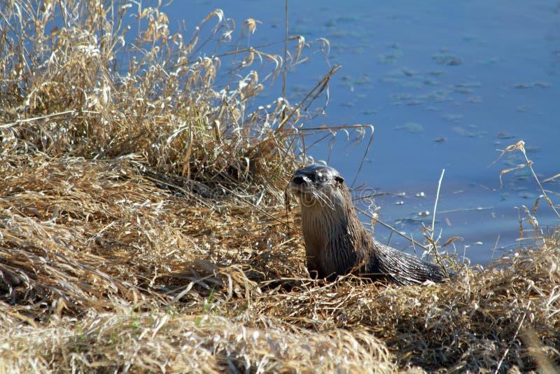 An otter harvesting grass stock photos
