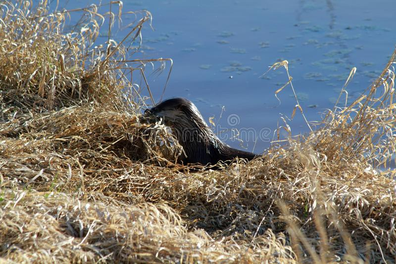 An otter harvesting grass on a sunny day royalty free stock photos