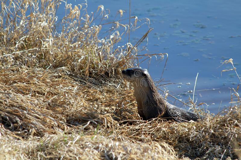 An otter harvesting grass on a sunny day royalty free stock image