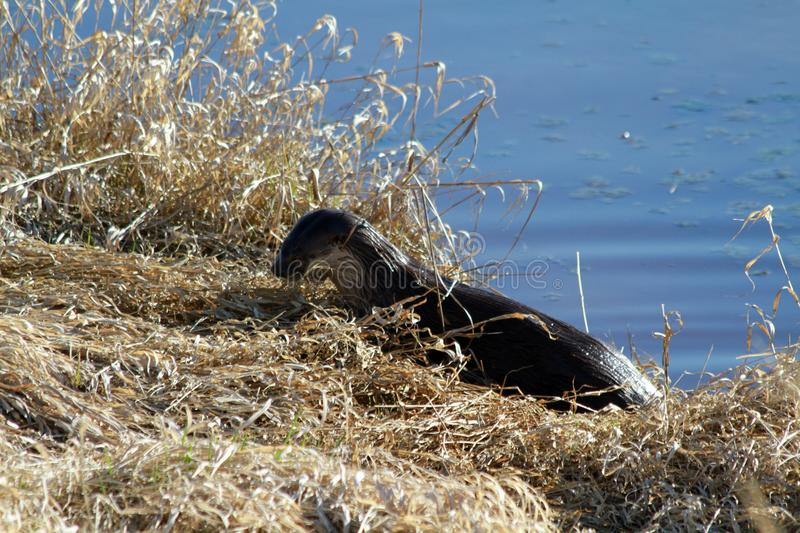 An otter harvesting grass on a sunny day stock photo