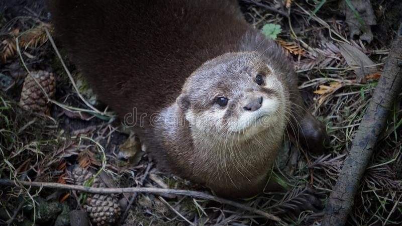 Otter looking up stock images
