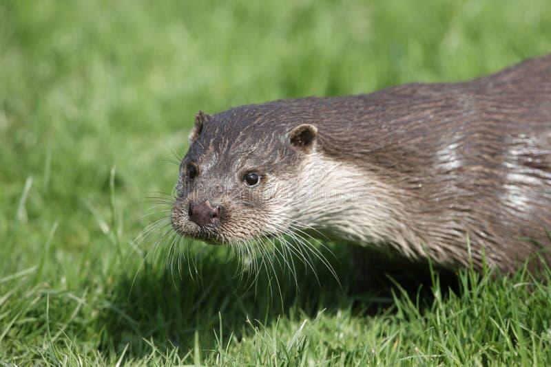 Otter, Lutra Lutra lizenzfreie stockfotos