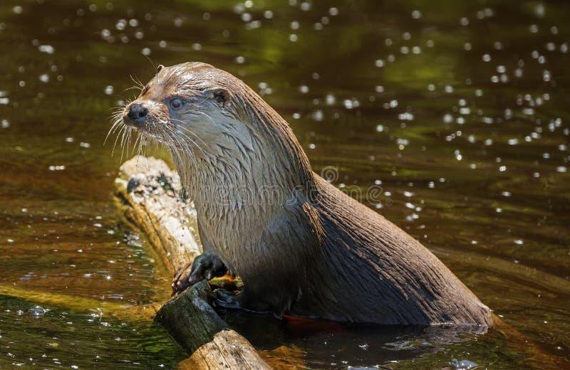 Otter - Lutra Lutra stockfotografie