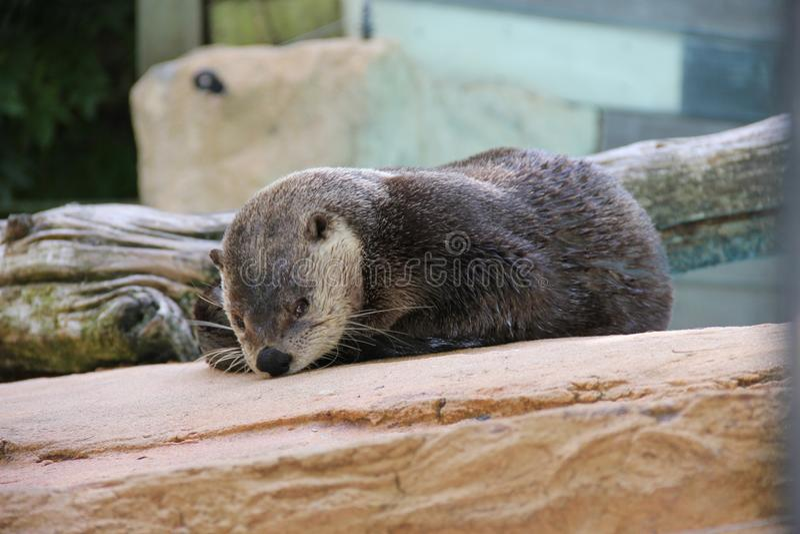 Otter, Mammal, Fauna, Mustelidae Free Public Domain Cc0 Image