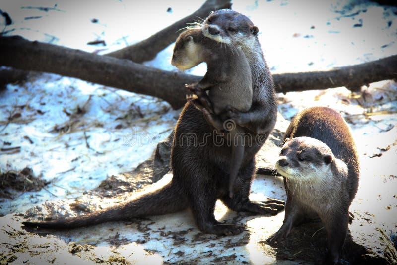 Otter met baby stock foto's