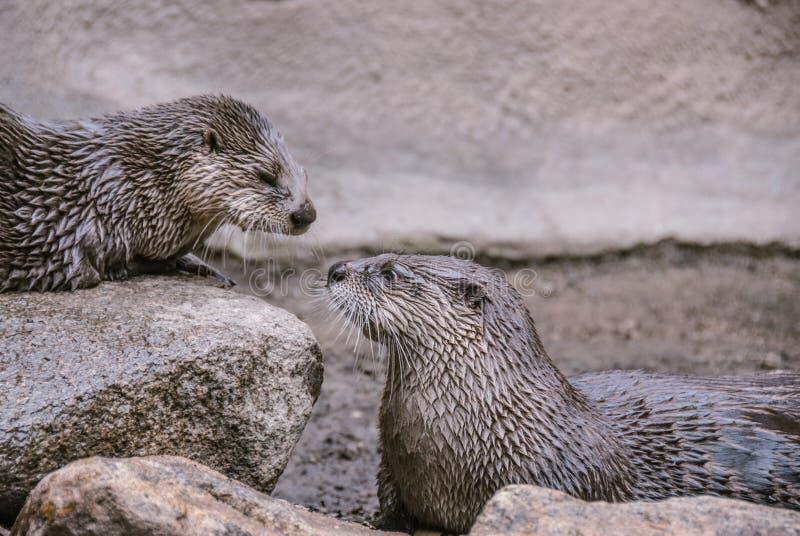 Otter-Nase zu riechen stockbilder
