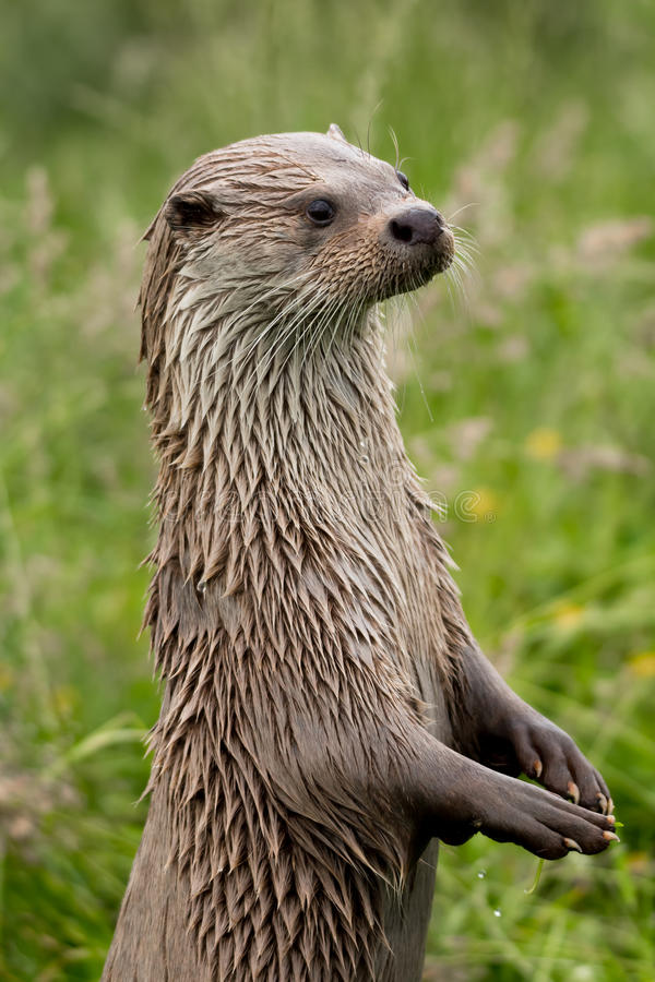 Otter portrait stock photography