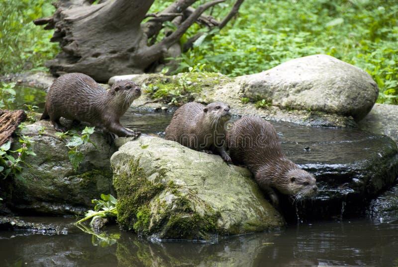 otter rodzinna zdjęcie stock