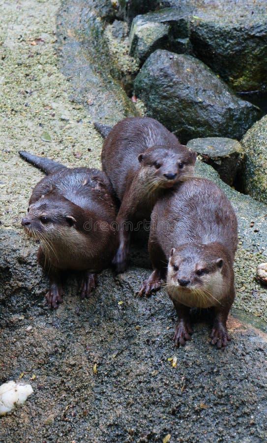 Otter ` s in de Dierentuin van Singapore stock foto
