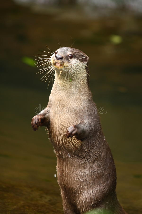Free Otter Standing Stock Photography - 14782472