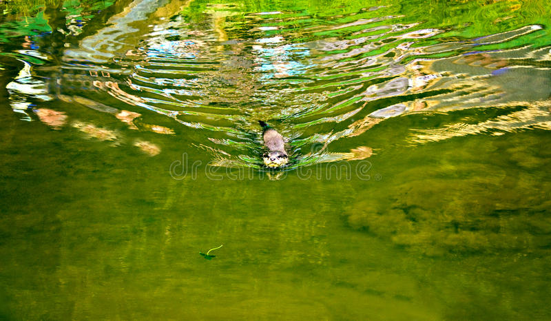 Download Otter Swimming In Water Stock Photos - Image: 26863073
