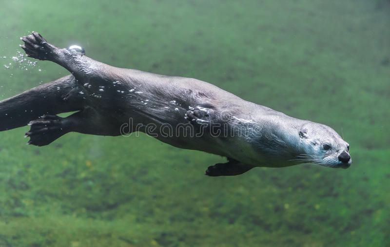 Otter under water stock images