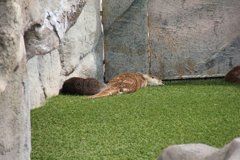 Otter zusammen lizenzfreie stockfotografie