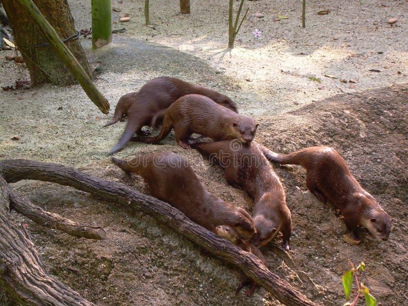 Otterfamilie royalty-vrije stock foto