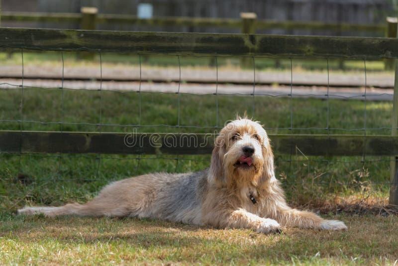 Otterhound che si riposa nel campo immagini stock