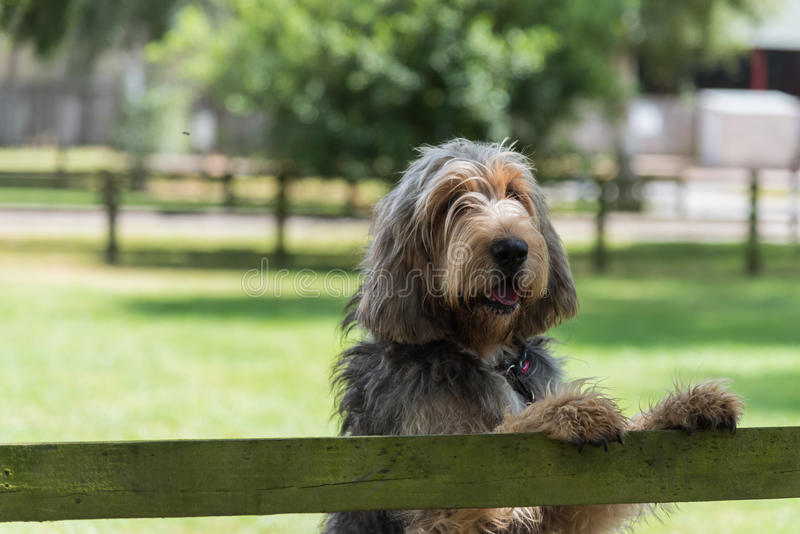 Otterhound standing with paws on fence stock images