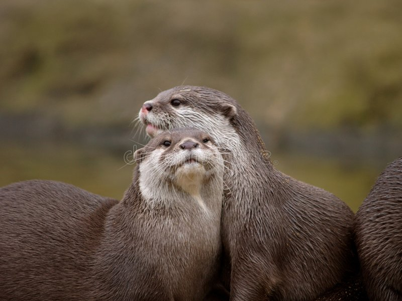 Otters royalty-vrije stock foto's