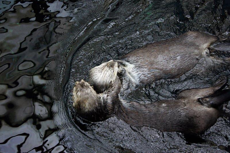 otters royalty-vrije stock afbeelding