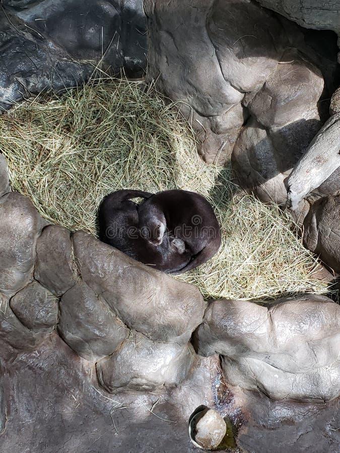 Otters bij de dierentuin royalty-vrije stock fotografie