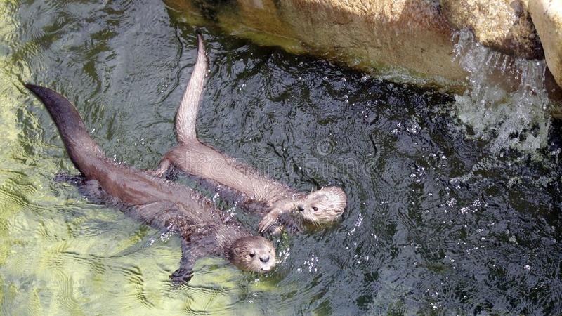 2 otters Chiling royalty-vrije stock foto's