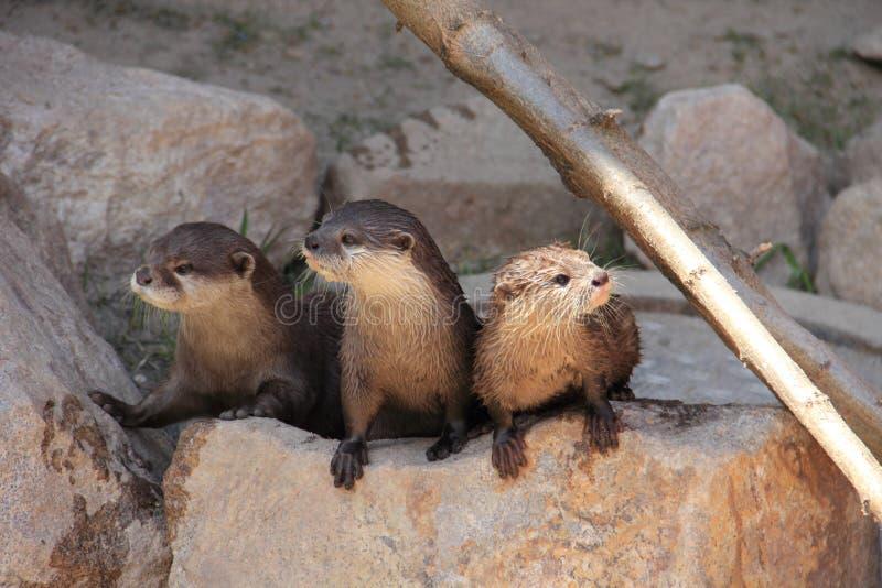 3 otters het letten op stock foto