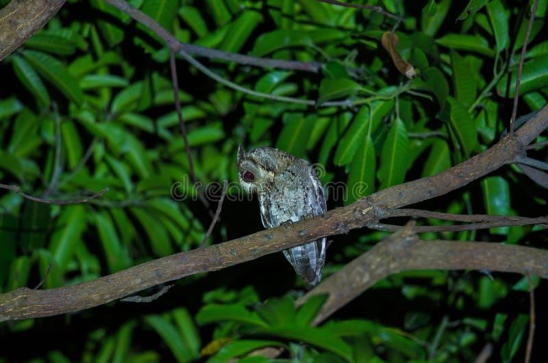 Otus bakkamoena de Otus collardo en un árbol fotos de archivo