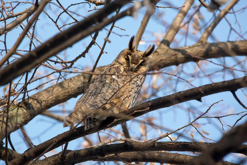 Otus de orejas alargadas de Owl Asio foto de archivo