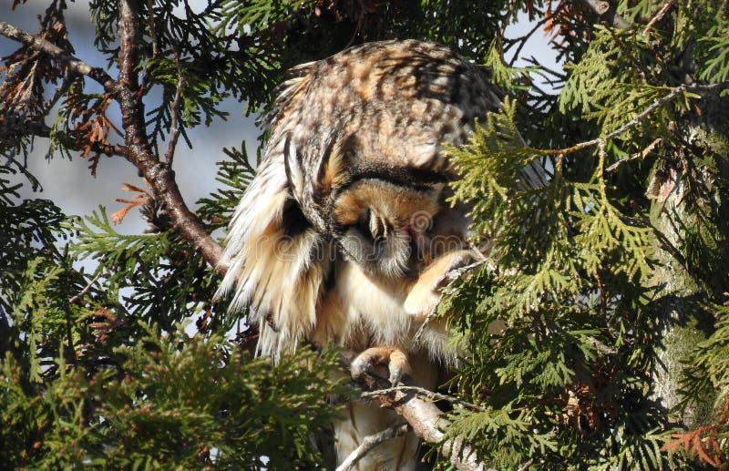 Otus de orejas alargadas de Owl Asio fotos de archivo libres de regalías