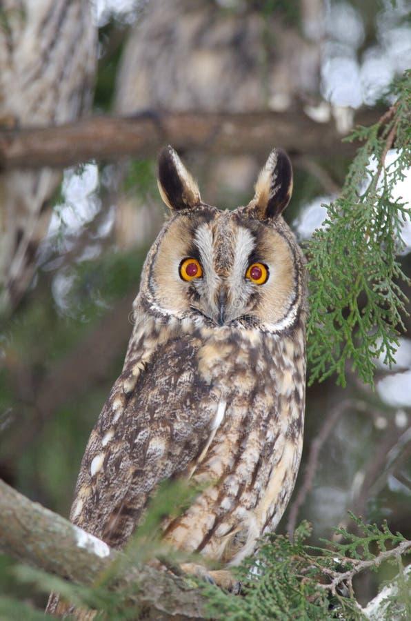 Otus de orejas alargadas de Owl Asio imagenes de archivo