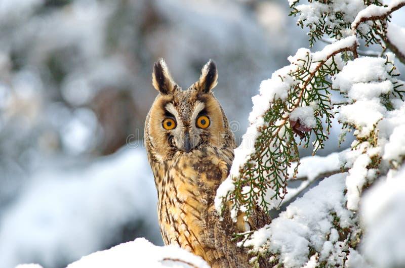 Otus de orejas alargadas de Owl Asio imagen de archivo libre de regalías