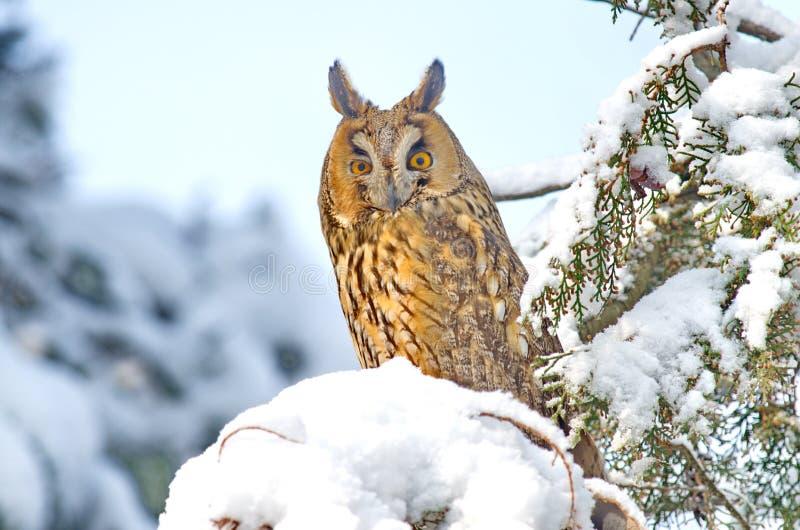 Otus de orejas alargadas de Owl Asio fotografía de archivo libre de regalías