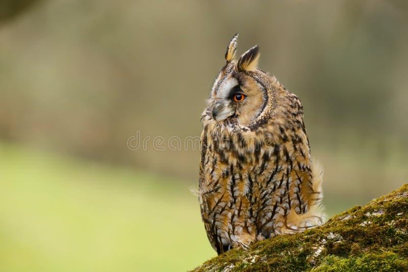Otus Eared lungo Regno Unito di Owl Asio fotografia stock libera da diritti
