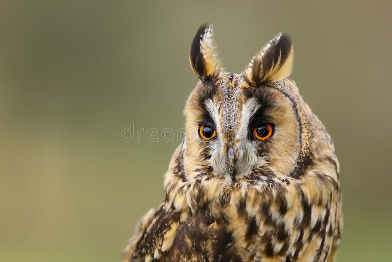 Otus espigado largo Reino Unido de Owl Asio fotos de archivo