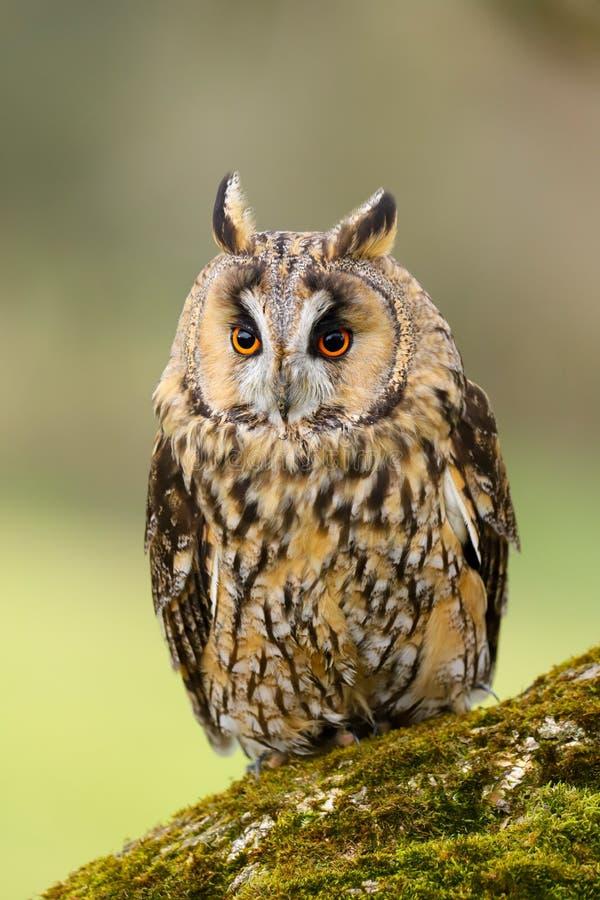 Otus espigado largo Reino Unido de Owl Asio imágenes de archivo libres de regalías
